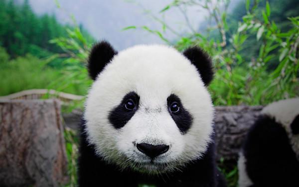 美国夏威夷时间9月4日,世界自然保护联盟(IUCN)在美国夏威夷宣布,将大熊猫的受威胁程度从濒危变为易危。   北京时间9月5日下午,国家林业局向澎湃新闻(www.thepaper.cn)发来回应声明:作为大熊猫保护管理部门,我们着眼于实际工作情况和保护形势,认为大熊猫仍是濒危物种,将大熊猫保护等级降低还为时过早。   国家林业局称,作为中国的国宝级野生动物,长期以来,中国政府高度重视大熊猫保护管理。根据2015年年初公布的中国第四次大熊猫调查结果,大熊猫野外种群数量从2003年的15