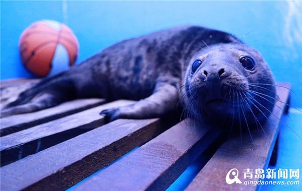 """近日,一只可爱的灰海豹""""小公主""""顺利降生于青岛海昌极地,这是在人工饲养环境下,全国首例人工哺育成活的灰海豹。 小海豹刚出生的时候,白色的毛发,柔软的前肢,甚是可爱,小海豹充分继承了爸爸妈妈的基因,拥有一张""""大长脸"""",十分俏皮。"""