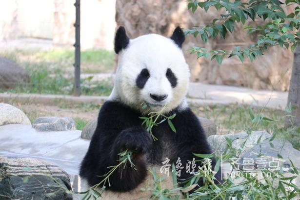 9月17日,周日,济南动物园里的这只憨态可掬的大熊猫,正坐在那里聚精会神地啃着新鲜的竹子,吸引了大批市民和游客前来观看,让人欢喜得很。 齐鲁晚报·齐鲁壹点记者 宋磊 摄