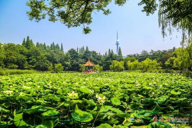 """农历六月小暑已至,中山公园也迎来了""""接天莲叶无穷碧,映日荷花别样红""""的夏日千荷美景。"""