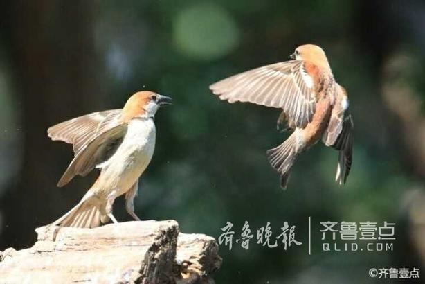 """18日,壹粉""""涛哥802691""""在南部山区高而观各种鸟,并连续给情报站发来多组图片。每组图片都拍摄一种小鸟,或静或动,姿态各异,甚是有趣。 齐鲁壹点 记者  杜洪雷 整理"""