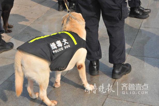 """缉毒犬。由于训练,这只缉毒犬的""""肘""""部被磨光了皮。"""