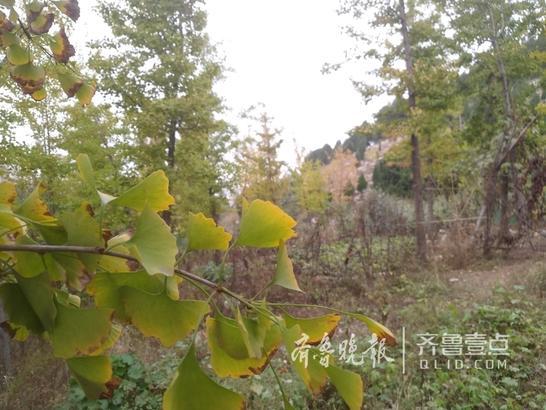 10月13日,领秀城住户去附近的泉子山爬山时偶然发现一片银杏林,虽然还没到叶子全黄的季节,却已经颇具秋意。(齐鲁晚报·齐鲁壹点 校长)