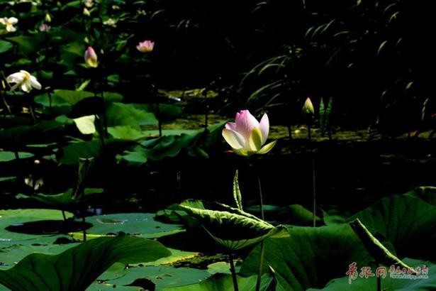 荷花,不像浮萍那样随波逐流,也不像一些花草离群索居、孤芳自赏。荷花既可置身于名园佳苑,也可植根于湖塘沼泽,始终如一地站立着、盛开着,散发着独有的芬芳。荷花的高洁和默默奉献的精神,是我们灵魂最高的追求,心如莲花,人生才会一路芬芳。编辑:jingyu